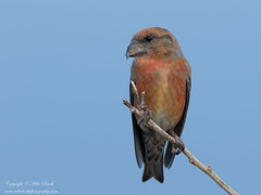 Red Crossbill (Loxia curvirostra) (www.mikebarthphotography.com 2M Views thanks !) Tags: redcrossbill loxiacurvirostra