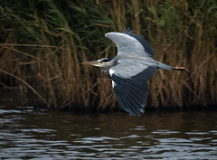Not quite a Bittern! (Steve D'Cruze) Tags: heron grey lunt meadows nikon d500 high iso sigma 150600mm