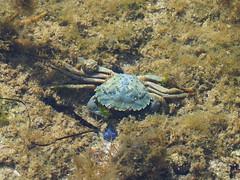 M2119706 E-M1ii 210mm iso200 f5.6 1_250s 0 (Mel Stephens) Tags: galicia holiday o grove spain 20180911 201809 2018 q3 4x3 wide olympus mzuiko mft microfourthirds m43 40150mm pro mc14 omd em1ii ii mirrorless coast coastal crab underwater animal animals nature wildlife fauna best