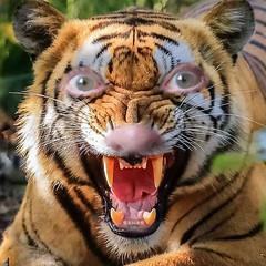 Roaaaaaarrrrrrrrrr (amy's antics) Tags: wah wearehere tiger eyes nose me
