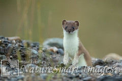 Short-tailed Weasel Tekiela TEK5400 (Stan Tekiela's Nature Smart Wildlife Images) Tags: allrightsreserved authornaturalistwildlifephotographer mammals vertebrates vertibrate mammalia fur hair terrestrial land animal naturesmartimagesbystantekiela shorttailedweaselmustelaerminea stantekiela copyright allrightsreservered stockimage professionalphotographer images wildlife animals nature naturalist wild stockphotos digitalimages critter stockimages stoat