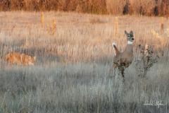 Doe White-tails Away From Coyote (dcstep) Tags: dsc0619dxo cherrycreekstatepark colorado usa aurora sonya9 fe100400mmf4556gmoss nature urban urbannature allrightsreserved copyright2018davidcstephens dxophotoab leaping whitetail coyote whitetaildeer deer doe
