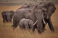 African Bush Elephants, Maasai Mara