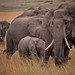 African Bush Elephants, Maasai Mara