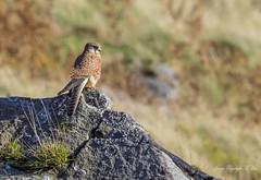On watch. (nondesigner59) Tags: falcotinnunculus lookout birdofprey wildlife kestrel nature rock kes copyrightmmee eos7dmkii nondesigner nd59