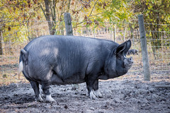 Big Pig (Jez22) Tags: pig farm animal pork bacon food cute photo copyright jeremysage pluckley