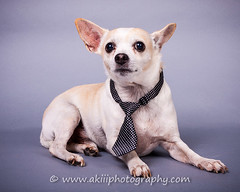 My name is Riley (Alfred Kirst III) Tags: akiii photography alfred kirst iii plano tx chihuahua rescue transport long hair blond male 2142894889 ak3photography akiiiphotography alfredkirstiii alienbees canon chi commercialdogphotographer dog paulcbuff planopetphotographer texas adoptablepuppies chihuahuarescueandtransport commercialdogphotography cute cutepuppy cutie female femalechihuahua foster fosterdog fosterpuppies longhairchihuahua puppies puppy shorthairchihuahua singingchihuahua zukepets zukes