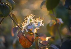 sun bathing (gnarlydog) Tags: australia tree flowers bloom backlit contrejour manualfocus vintagelens shallowdepthoffield bokeh speckledhighlights nature kodakanastigmat63mmf27 adaptedlens warmlight eveninglight goldenhour sunset