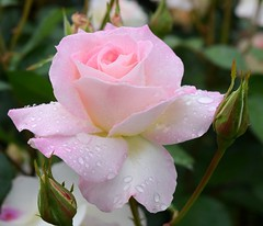 Seduction (Nelson~Blue) Tags: rose seduction spring rain pink