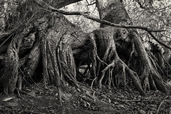 At the Roots of It (Helmuth of Boskone) Tags: draycotewater countrypark daventry england unitedkingdom gb roots blackandwhite monochrome october autumn fall