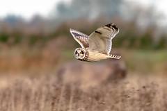 Short Eared Owl, Burwell Fen, Cambridgeshire, UK (1) (Nick Bowman1) Tags: fe100400lens shortearedowl ilce9 sony14xtc burwellfen uk cambridgeshire
