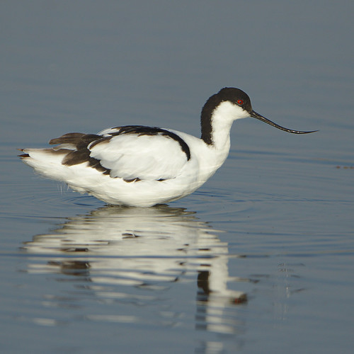 "Pied Avocet, Recurvirostra avosetta at Marievale Nature Reserve, Gauteng, South Africa • <a style=""font-size:0.8em;"" href=""http://www.flickr.com/photos/93242958@N00/30695639167/"" target=""_blank"">View on Flickr</a>"