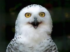 Wilhelma, Schneeeule (to.wi) Tags: wilhelma towi eule schneeeule vogel bird raubvogel nachtvogel