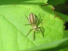 Jumping spider (tigerbeatlefreak) Tags: jumping spider salticidae arachnid wisconsin
