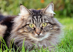 Cat in the grass (iwys) Tags: cat tabby face persian