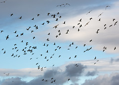 228A4839.jpg (ChrisInAK) Tags: alaska creamersfield fairbanks annual arctic bird birder birding farnorth flight fly flying migration outdoors polarregions sandhillcrane tourism travel vacation view viewing wildlife
