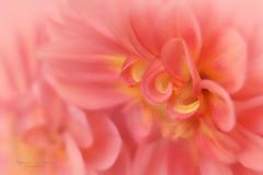 softness (Ifigeneia Vasileiadis) Tags: dahlia flower soft ethereal tair11a vintagelens macro