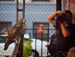 Tompkins Square red-tail fledgling (Goggla) Tags: fledgling a2 nyc new york east village tompkins square park urban wildlife bird raptor red tail hawk 2 fence laz
