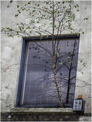 Brave tree (Luc V. de Zeeuw) Tags: alarm tree wall window schiedam zuidholland netherlands