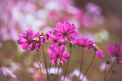 For You (moaan) Tags: sansda hyogo japan jp flower cosmosflower color pink sun lookingforthesun outdoors garden flowergarden october focusonforeground selectivefocus depthoffield dof bokeh bokehphotography canon canonphotography canoneos5dmarkiii ef70200mmf28lisiiusm utata 2018