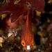 Javan Fairy Wrasse, young juvenile - Cirrhilabrus filamentosus