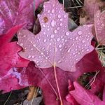 Fall Maple Leaf - Idaho thumbnail