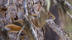 Squirrel in the Canadian Rockies (T. K. Daisy Leung) Tags: canadianrockies wildlife squirrel nature canadiancritters critters