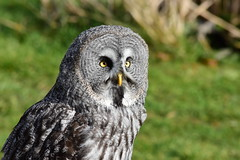Great Grey Owl (Bury Gardener) Tags: banhamzoo banham zoo birds bird 2018 nikond7200 nikon norfolk england eastanglia uk wildlife snaps