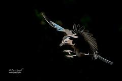 Gaig_2 - 2018 (Pep Aguadé) Tags: gaig garrulusglandarius arrendajoeuroasiático eurasianjay còrvid passeriformes corvidae garrulus ocell au moixó ave pájaro nikon lavinya pepaguadé catalunya catalonia cataluña provtarragona natura nature naturaleza camp vol
