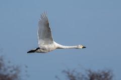 Bewick's Swan (Simon Stobart - Back But Way Behind) Tags: bewicks swan cygnus columbianus bewickii flying north east uk