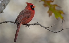 Winter Northern Cardinal (Randy E. Crisp) Tags: recrisp randyecrisp randycrisp crisp canon woods wildlife outdoors tx texas centralflyway water 2018 2017 2016 2015 2014 2013 2012 02011 2010 nature limb perched trunk tree handheld 16cropcamera fly male gender sex tamron150600mm portrait canon7dmkii winter irving redoak northerncardinal