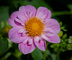 Pink Dahlia (tresed47) Tags: 2018 201808aug 20180809longwoodflowers august canon7dmkii chestercounty content dahlia flowers folder longwoodgardens macro pennsylvania peterscamera petersphotos places season summer takenby technical us