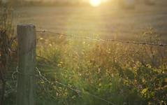 Lassoed .... (Elisafox22) Tags: elisafox22 sony nex7 55210mm telephoto lens fencefriday hff fencdfriday weathered worn fencepost wood wooden sunset haybales september weeds flowers grasses sunlight lensflare bokeh barbedwire wire metal elisaliddell©2018