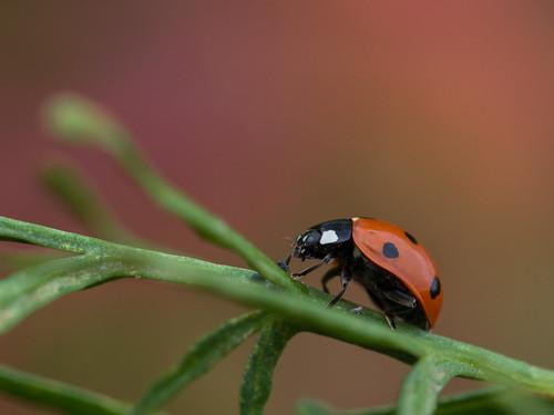 Lieveheersbeestje - Ladybug