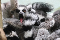 Indulging in a Sunday lie-in (charliejb) Tags: ringtailedlemur ringtailed lemur bristolzoo bristol 2018 wildlife mammal black tongue sunday slumber sleep