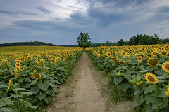Pathway to a lone tree in a sea of sunflowers, Davis Feed Farm DSCT7311 (Alleung555) Tags: pathway lone tree sea sunflowers davis feed farm caledon on