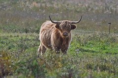 La highland ou Highland cattle (jean-lucfoucret) Tags: nikond500 nikkor 200500f56 nikkor200500f56 animal nature highland race bovine picardie france bos taurus bétail cattle livestock beef photo pature marais eau herbe corne vache cow bokeh robe tête poil