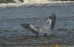 Great Blue Heron. (Estrada77) Tags: greatblueheron herons foxriver fall2018 kanecounty wildlife birds birding outdoors nature animals water nikon nikond500200500mm illinois