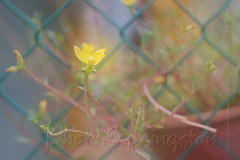 HeliosX01T4282 (kingston Tam) Tags: pottedplants flowers painterlyfeel watercolorpainting colors oldlens bokeh brightcolors fujifilmxt1 helios442f258