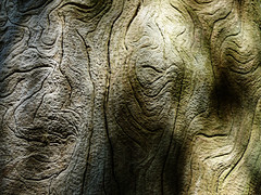 Textures and Faces (Steve Taylor (Photography)) Tags: faces brown newzealand nz southisland canterbury christchurch bark tree shape lines pattern shadow dappled