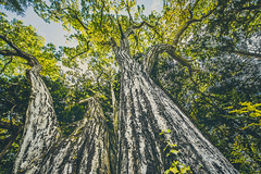 Soul of a Forest (moaan) Tags: mutsu aomori japan jp tree chestnuttree about800yearsage outdoors exploring woods lowangleview nature naturephotography canon canoneos5dmarkiii zeissdistagont2815ze utata 2018 distagont2815 canonphotography