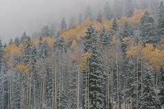 Fall aspens in the snow. (M///S///H) Tags: lenstagger nm aspentrees autumn fall newmexico snow taos taosnewmexico taosskivalley