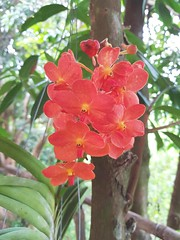Vanda sp. Orchidaceae - orange vanda orchid 4e (SierraSunrise) Tags: epiphytes esarn flowers isaan nongkhai orange orchidaceae orchids phonphisai plants thailand vanda