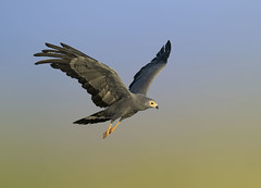 African Harrier Hawk (Arshad Aashraf) Tags: animal arshadashraf africanharrierhawk beautiful beautyinnature birdlover birdeyeview birds birdslover colorsofnature feather life nature naturelover nopeople naturephotography pattren style wildlife wildlifephotography birdsofkenya nikon flickr