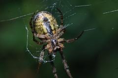 Zygiella x-notata (Arachtober 18b) (Procrustes2007) Tags: spider zygiella arachnid arachtober zygiellaxnotata missingsectororbweaver nikond50 sudbury suffolk uk