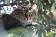 Рысь на охоте. (Angelok-Happy) Tags: кот сибиряк ель рысь охота глаза взгляд красавец путяшка