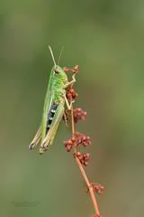 Common Meadow Grasshopper (Louise Morris (looloobey)) Tags: 34i4047 grasshopper commonmeadowgrasshopper woodland august2018 early matt meadow