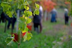 la vendemmia (♥iana♥) Tags: vino uva grape vendemmia autunno autumn fall rosso red vite vigna grapevine montemarano avellino campania italia