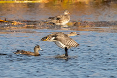 GADWALL (nsxbirder) Tags: hamiltoncounty ross ohio flight fernaldnaturepreserve gadwall unitedstates us
