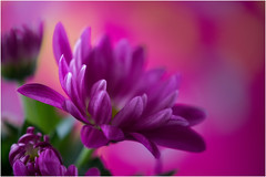 purple ... (miriam ulivi) Tags: miriamulivi nikond7200 fiori flowers crisantemi chrysanthemums macro bokeh nature viola purple